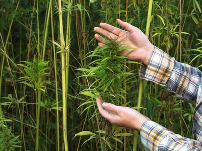 Grupo Terra Viva obtém na Justiça licença para produzir o cânhamo – planta da família cannabis