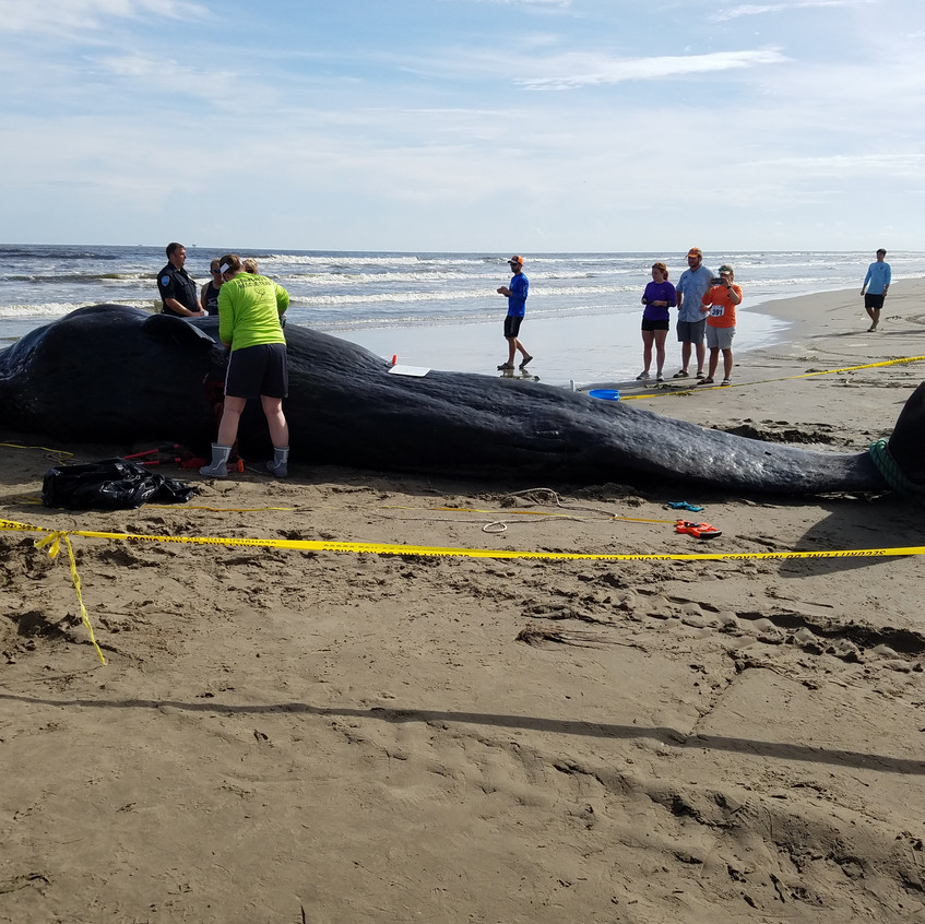 Sperm Whale Beached