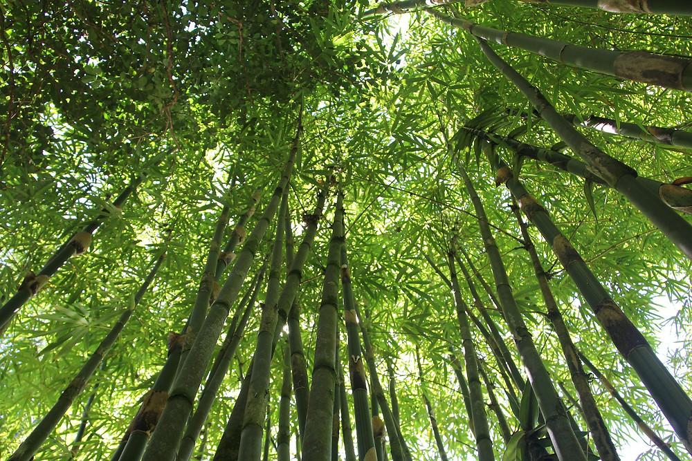 El Bambú es uno de los materiales más resilientes de la naturaleza
