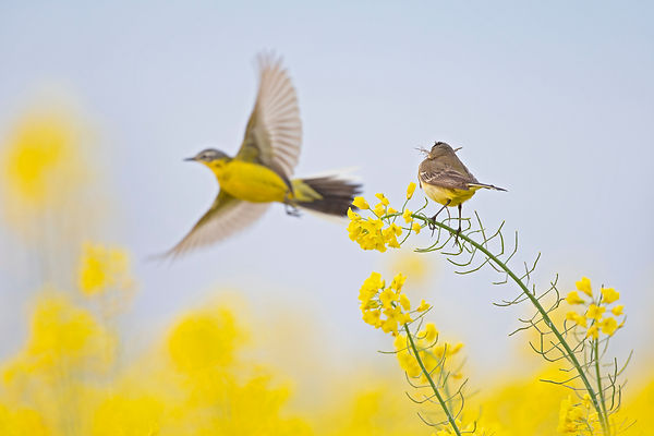A female yellow wagtail perched with nes