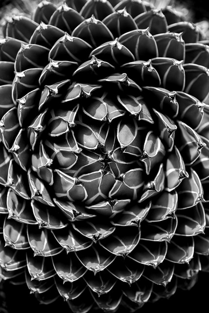 Agave queen