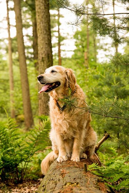 Portret van een hond, labrador