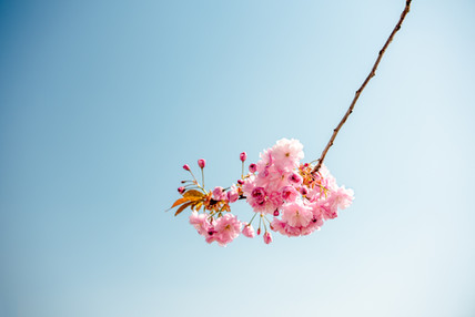 Cherryblossom in may