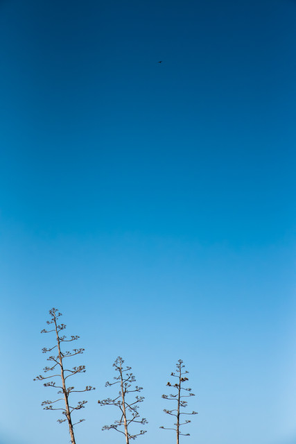Three trees and a clear blue sky