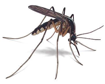 mosquito-illustration_2092x1660.jpeg