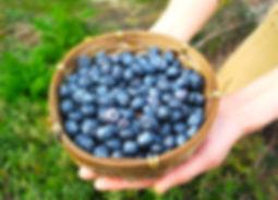 画像:高島ブルーベリーファームで摘み取った新鮮なブルーベリー