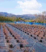 ブルーベリー農園春1.jpg