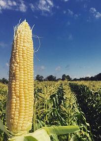 Fresh corn from our farm