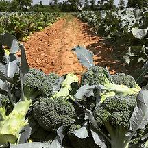 Fresh broccoli from our farm