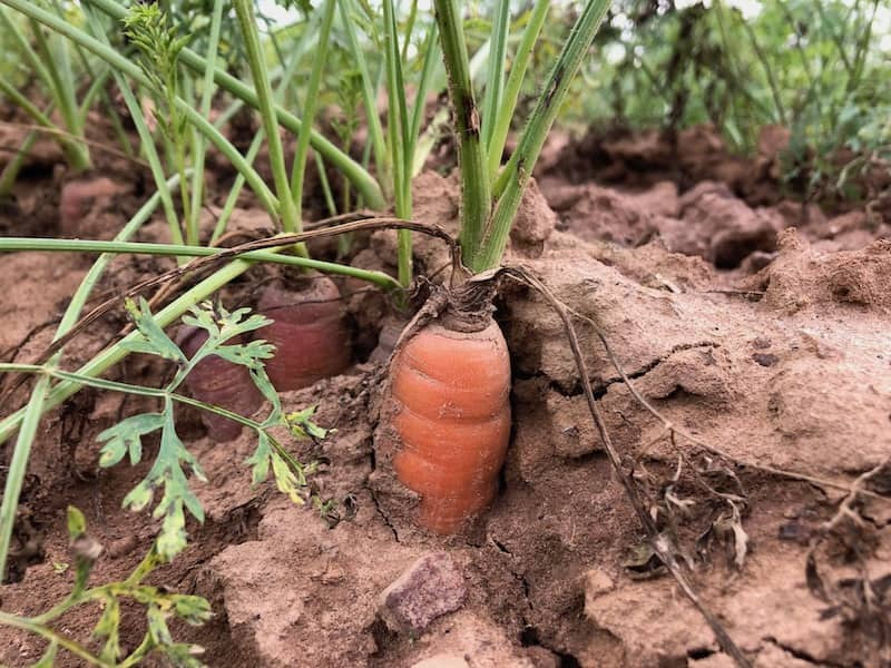 Organic carrot crops for produce delivery