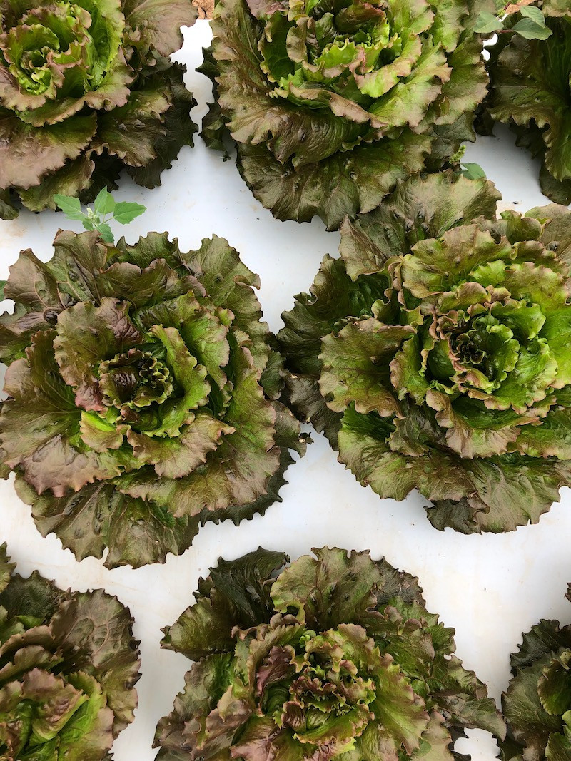 Organic red lettuce heads for CSA shares.