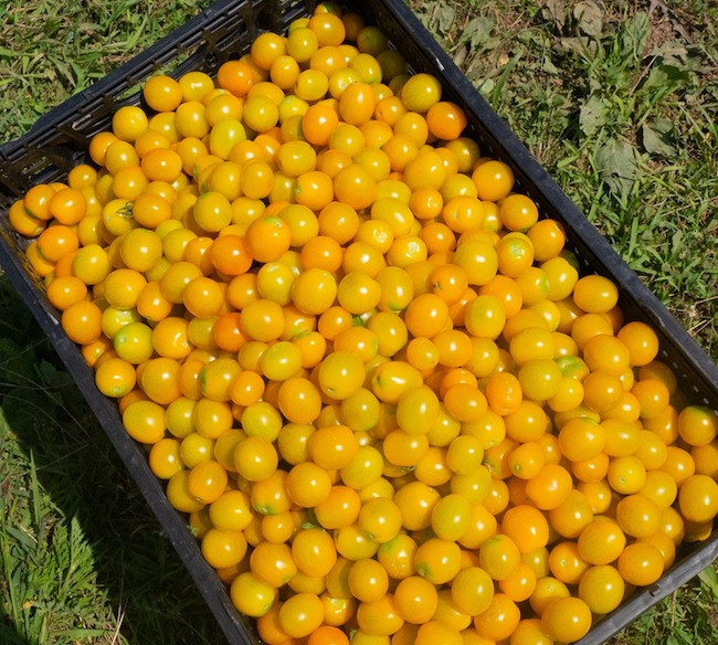 Organic yellow cherry tomato harvest for CSA shares.