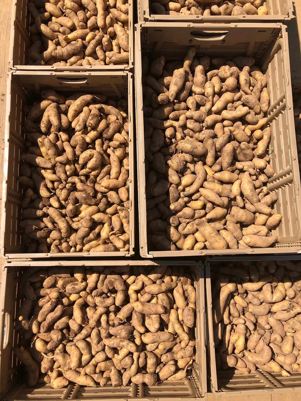 Fingerling potato harvest for CSA members