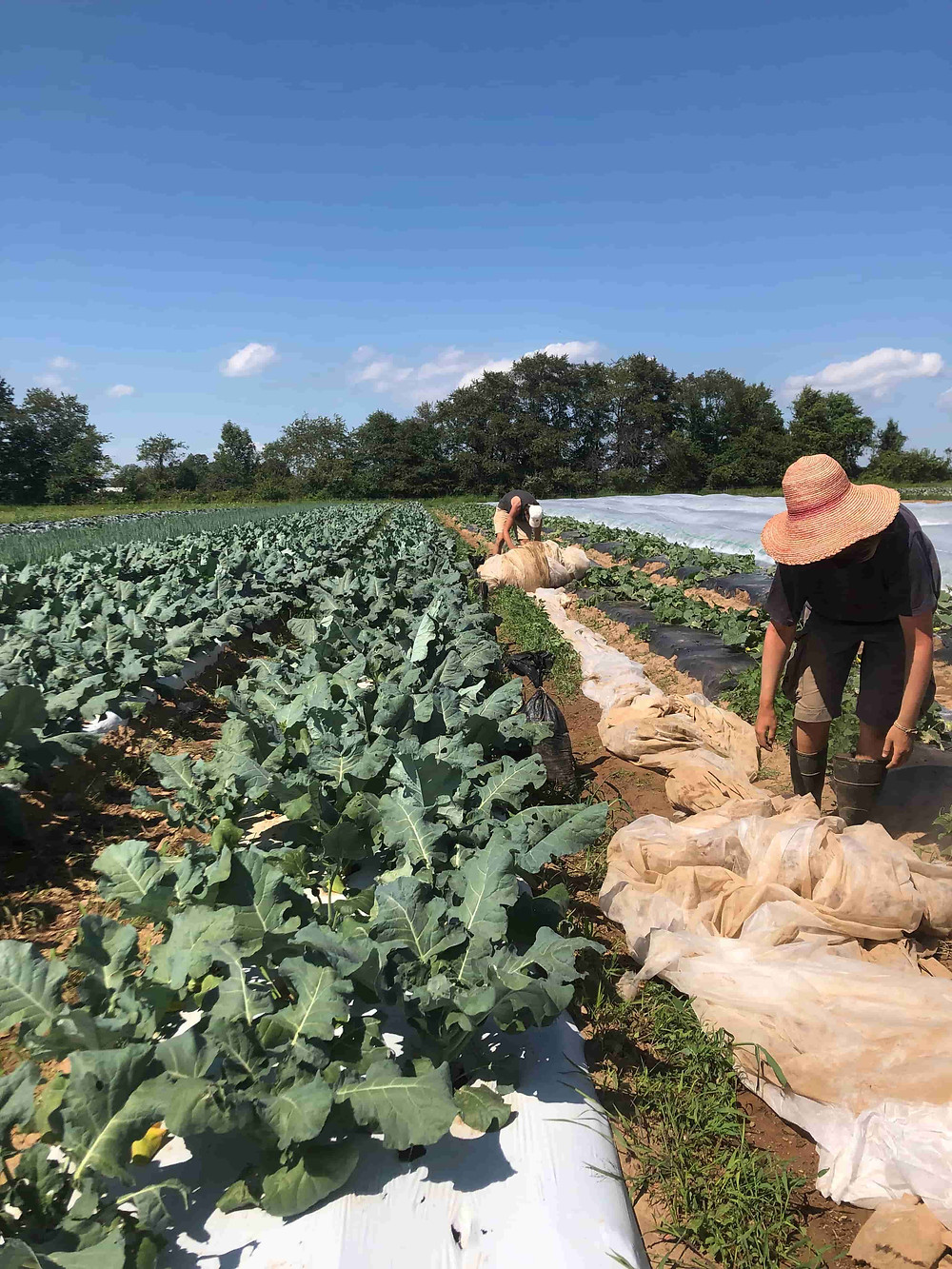 Kale crops and CSA farm crew at work