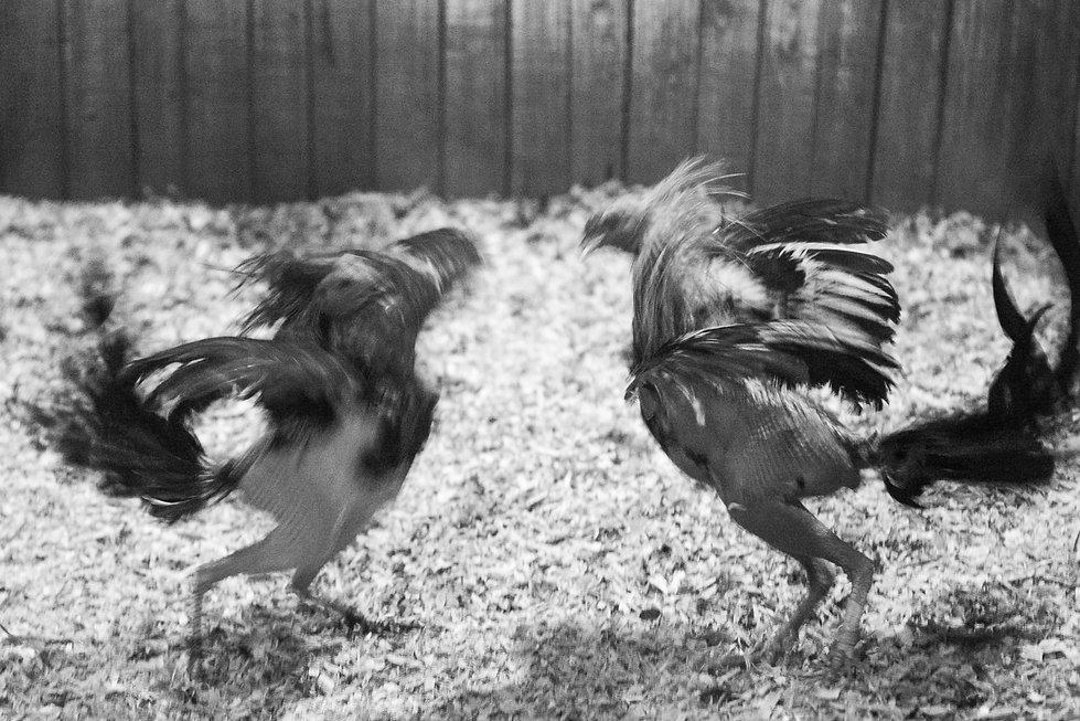 fighting cocks-16.jpg