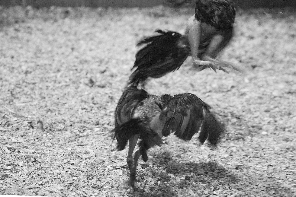 fighting cocks-22.jpg