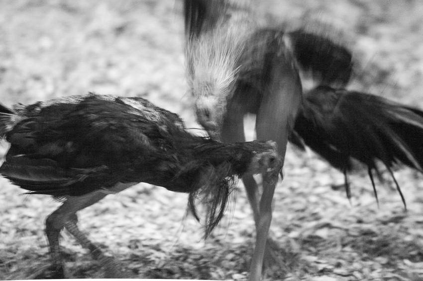 fighting cocks-21.jpg