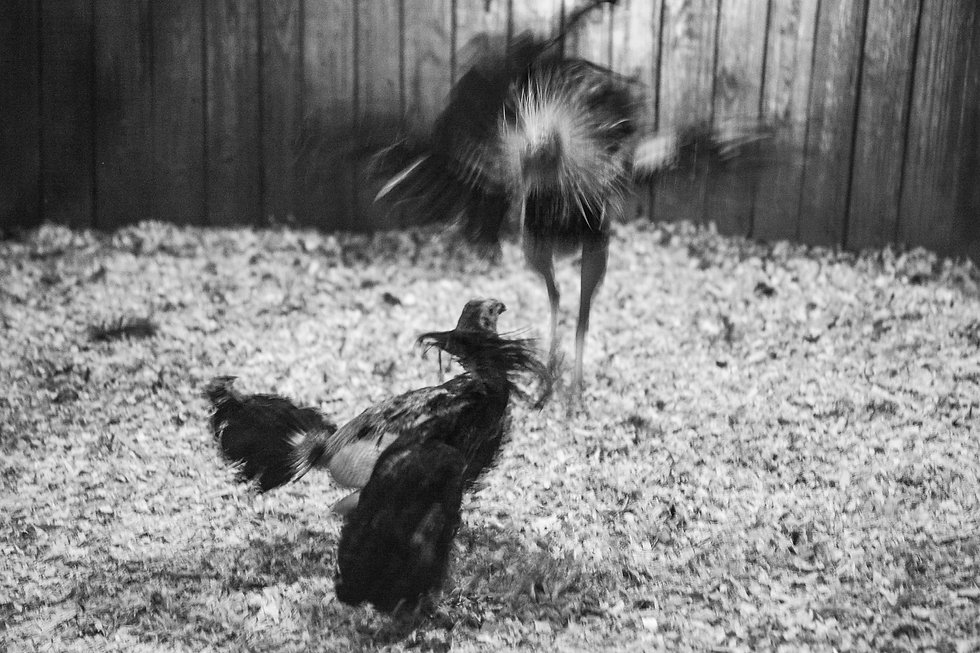fighting cocks-14.jpg