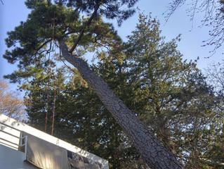 伐採|川崎植木屋つくだ庭園