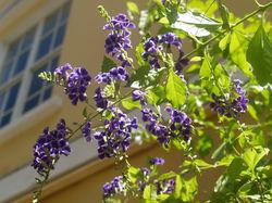 Foliage Purple 1