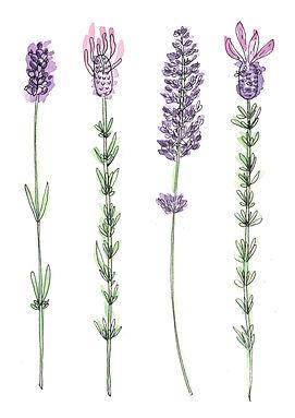 cards Lavender lavender-2.jpg