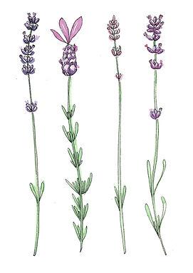 cards Lavender lavender-1.jpg