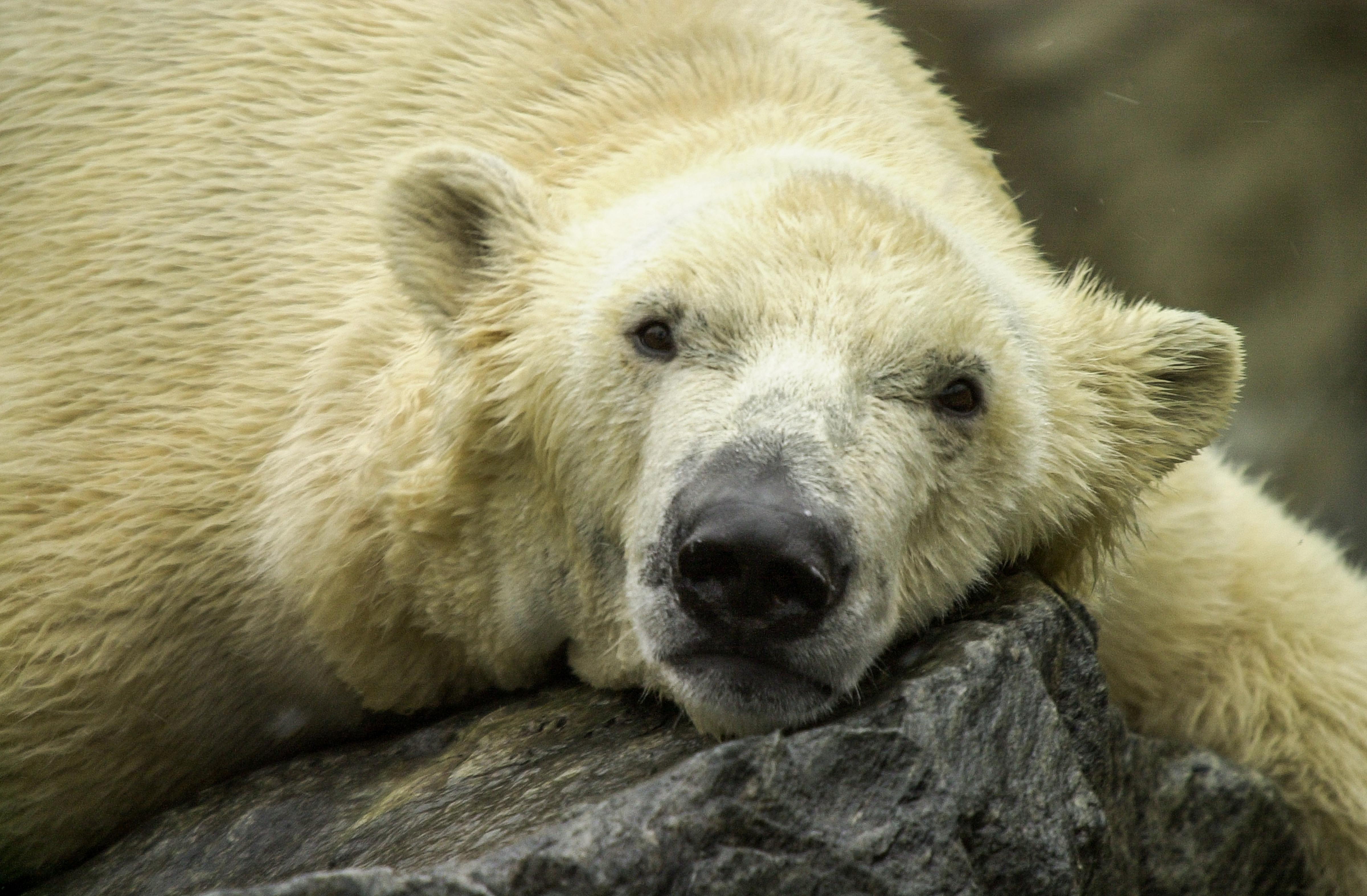 Polar Bears-12
