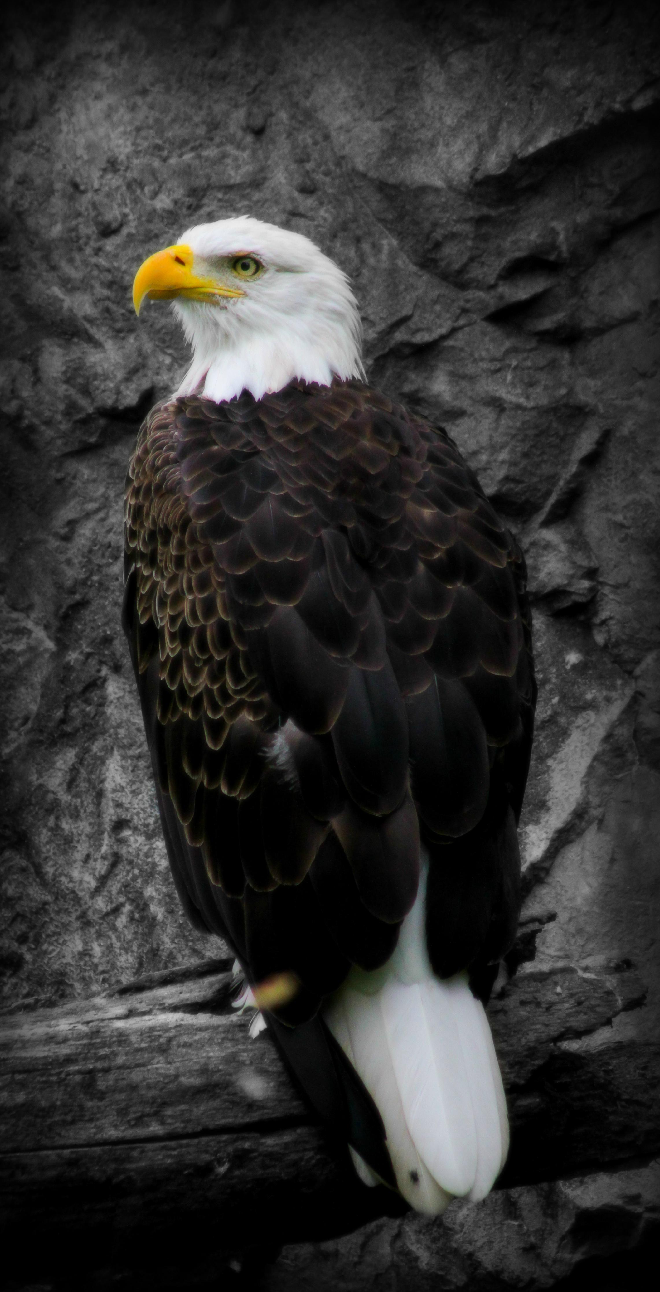 bald eaglefinal