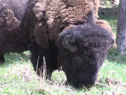 bisontes.mp4