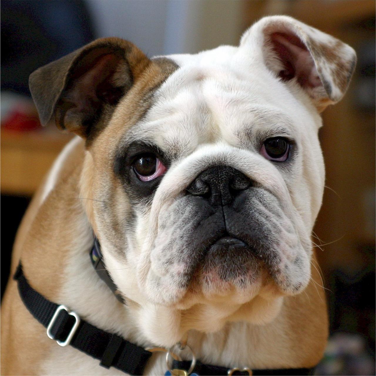 english-bulldog-bulldog-canine-dog-40544