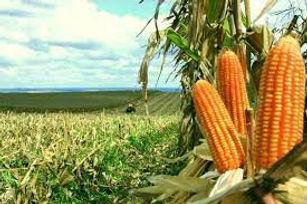 Fazenda de milho 3.jpg