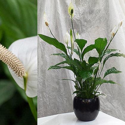 Spathiphyllum P13 + cache pot