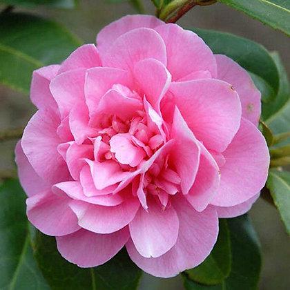 Camélia Japonica couleur P10