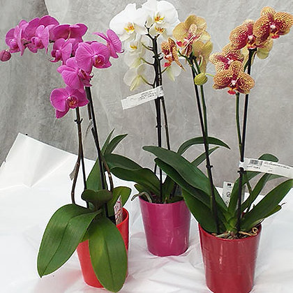 Orchidées Phalaenopsis 2 Tiges + cache pot