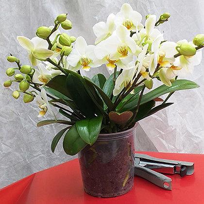 Phalaenopsis Lausanne 4tiges P12