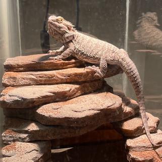 Lizard_edited.jpg