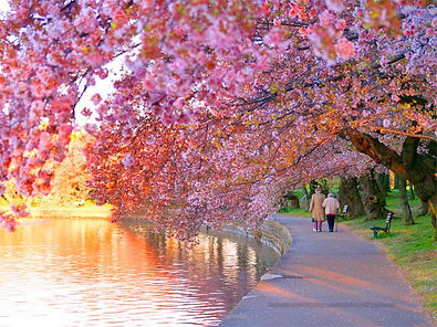 April Challenge Cherry blossoms.jpg