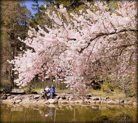Ray Henrikson, Cherry Blossoms