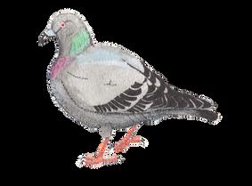 Pock Pigeon
