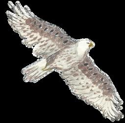 Furrginous Hawk
