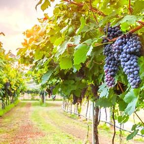 "Luxury Kosher Wine Club ""Honest Grapes"" Celebrates 4th Vintage"