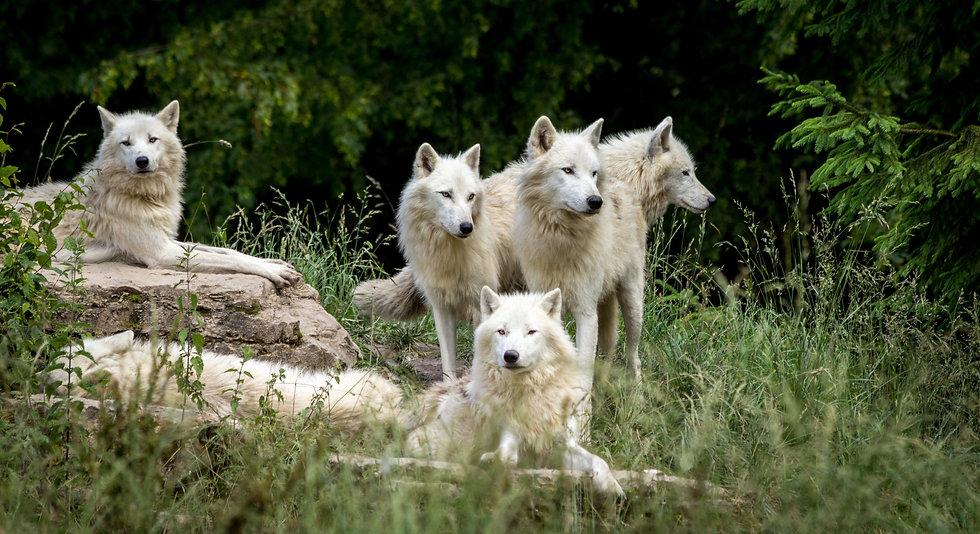 wolves-3785362.jpg