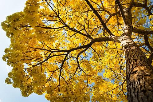 O Ipê Amarelo