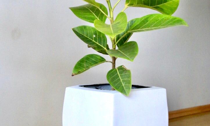 Árbol de Hule Amarillo