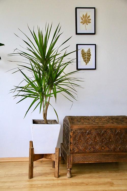 Palma Marginata