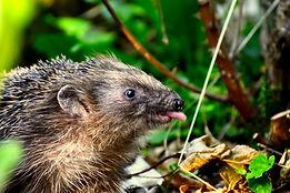 naughty-hedgehog-4323134.jpg