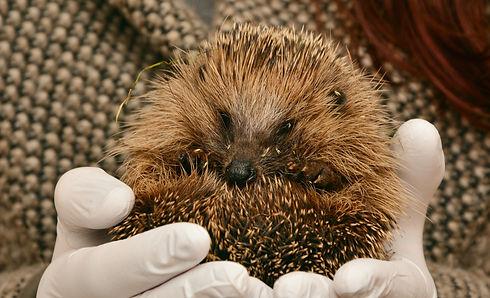 hedgehog-2074143.jpg