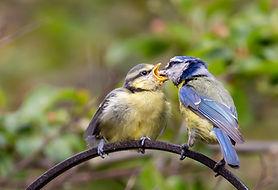 feeding-fledgling-blue-tit-5183136_1920.