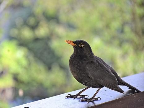 blackbird-5069381.jpg