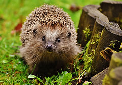 hedgehog-child-1759027.jpg
